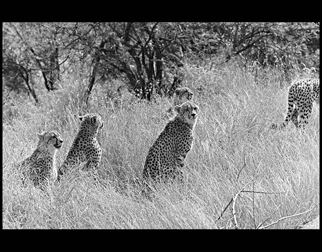 South Africa, Cheetahs, Kruger National Park, 2010